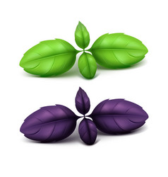 Set of green purple basil leaves close up vector