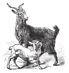 Domestic Goat vintage engraving vector