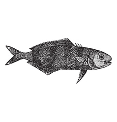 Pilot fish vintage engraving vector