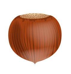 Full unpeeled realistic hazelnut close up vector