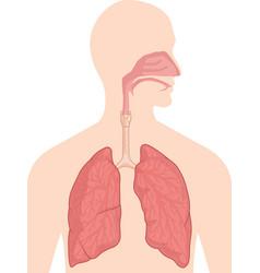 Respiratory breathing system body organ anatomy vector