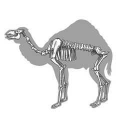 Engraving camel skeleton vector