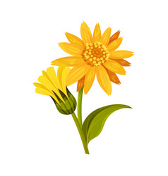Mountain arnica or arnica montana with large vector