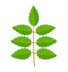 Rowan leaf icon cartoon style vector