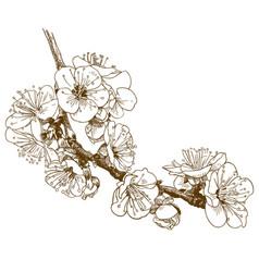 engraving of cherry blossom or sakura vector image
