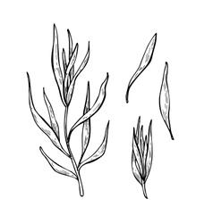 Tarragon hand drawn set vector image