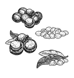hand drawn set of macadamia nuts huddles with vector image