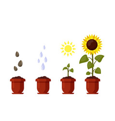 sunflower cartoon grown in a flowerpot isolated on vector image