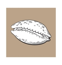 White cowrie or cowry sea shell sketch style vector
