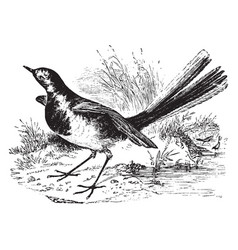 Pied wagtail vintage vector