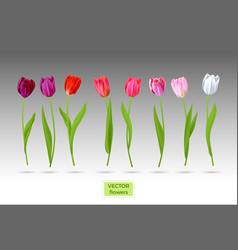 Set tulips flowers vector