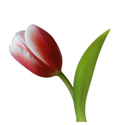 Close up of Tulip flower on white background vector image vector image