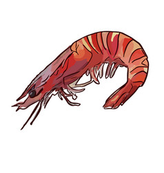 cooked uncooked shrimp vector image vector image