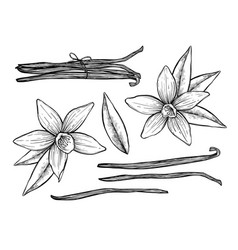 Vanilla pods and flower isolated vector