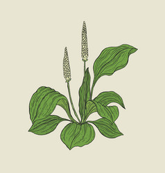 Detailed botanical drawing of plantain with yellow vector