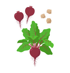 beetroot with green foliage seeds and sliced beet vector image