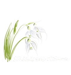 Snowdrops on white background vector