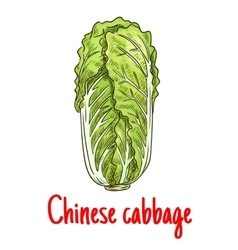 Chinese cabbage vegetable isolated sketch vector