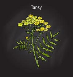 tansy tanacetum vulgare or common tansy vector image vector image