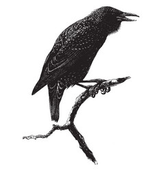 common starling vintage vector image