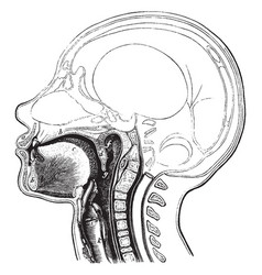 Passage to the esophagus and windpipe vintage vector