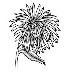 Black and white aster flower vector