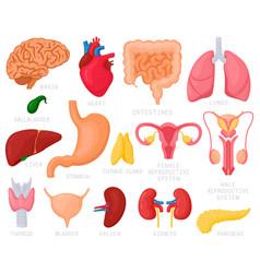 human internal organs cartoon organs heart vector image