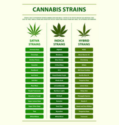 Cannabis strains vertical infographic vector
