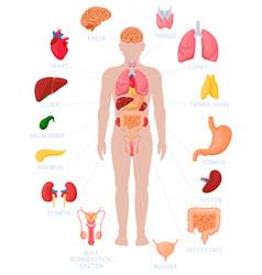 Human anatomy infographic anatomical internal vector