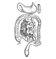 Stomach and intestines vintage vector
