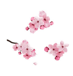 cherry flower spring vector image
