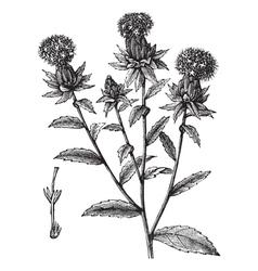 saffron flowers engraving vector image vector image
