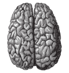 surface of the cerebrum vintage vector image