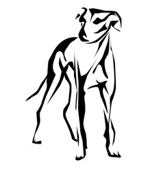 greyhound vector image
