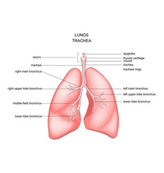 Lungs trachea and larynx vector