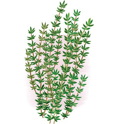 Thyme branch on a white background vector
