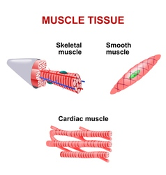 muscle tissue vector image vector image