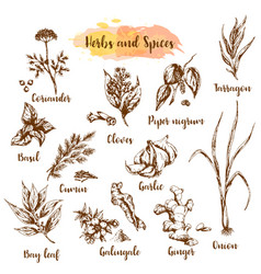 Herbs and spices herb plant vector