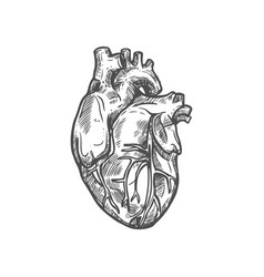 human heart sketch icon cardiovascular system vector image