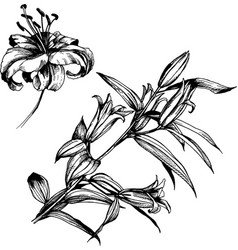 lily flower background drawing vector image