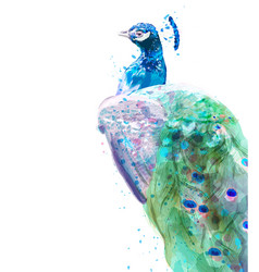 Peacock isolated watercolor summer exotic birds vector