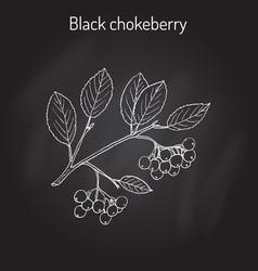 Black chokeberry aronia melanocarpa medicinal vector