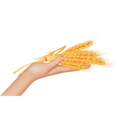 Hand with ears wheat vector