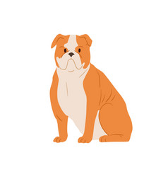 Portrait angry english bulldog with wrinkled vector