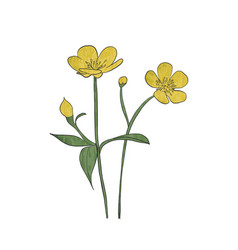 Hand drawn buttercup flower vector