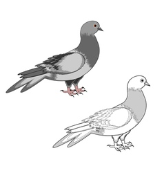 A pigeon isolated on a white background vector image