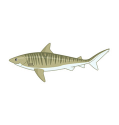 tiger shark fish on a white background vector image