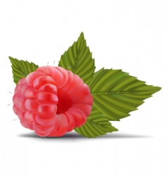 raspberry with leaves vector image