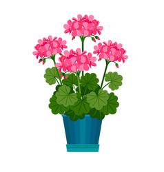 geranium houseplant in flower pot vector image