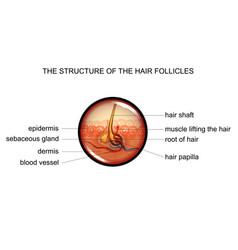 anatomy of a hair bulb vector image